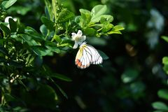 Yellow white butterflies perch on trees. And suck flower essence on rainy mornings royalty free stock image