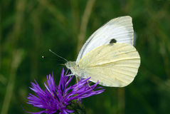Yellow-white butterfly on a beautiful flower Royalty Free Stock Image