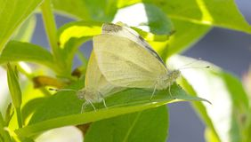 Yellow and white butterfly mating on green. Selective focus royalty free stock photo