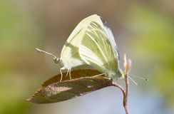 Yellow and white butterfly mating on green. Selective focus royalty free stock images