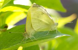 Yellow and white butterfly mating on green. Selective focus royalty free stock image