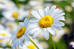 Yellow and White Camomiles Closeup Stock Image