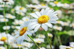 Yellow and White Camomiles Closeup Royalty Free Stock Image