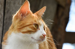 Yellow and white cat face, close-up. Stock Photos