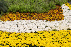Yellow and white chrysanthemums flowers Royalty Free Stock Image