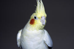 Yellow white cockatiel stock photo