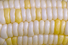 Yellow and White Corn on the Cob. Close-up shot of an ear of mixed white and yellow corn on the cob Royalty Free Stock Photos