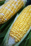 Yellow and white corn cobs Stock Image
