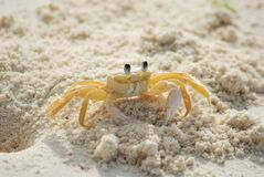 Yellow and White Crab on White Sand Beach during Daytime Royalty Free Stock Photography