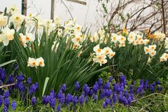 Yellow and white daffodil flowers with grape hyacinths. View with trees in back White and yellow daffodil flowers with grape hyacinths flowers in front of them stock photography