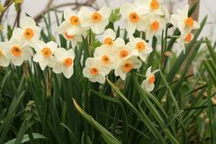 Yellow and white daffodil in a garden. White and yellow daffodil flowers a bunch together.  In a flower garden with  white fence Royalty Free Stock Photography