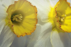 Yellow White Daffodil Royalty Free Stock Images