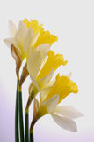 Yellow and White Daffodils Royalty Free Stock Images
