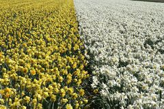 Yellow and white daffodils Royalty Free Stock Image