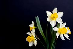 Yellow white daffodils narcissus on black background stock photos
