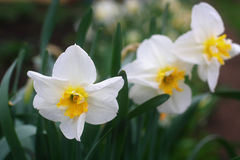 Yellow and white daffodils. narcissus flowers Stock Images