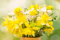 Yellow and white daffodils (narcissus) flowers, close up, green gradient background Royalty Free Stock Images