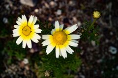 Yellow and white daises. Royalty Free Stock Photography