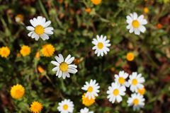 Yellow and white daisies Royalty Free Stock Photography
