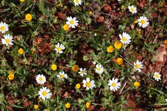 Yellow and white daisies Royalty Free Stock Photos