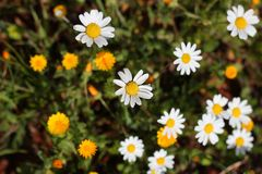 Yellow and white daisies Royalty Free Stock Photo