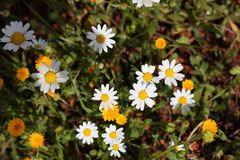 Yellow and white daisies Stock Photography