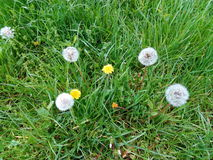 Yellow and white dandelions among green grass Royalty Free Stock Photo