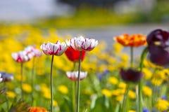 Yellow white dark and red tulips Royalty Free Stock Photo