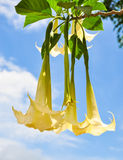 Yellow and white Datura flower in garden on blue sky. Focus at l Royalty Free Stock Photos