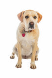 Yellow and white dog isolated on white Royalty Free Stock Images