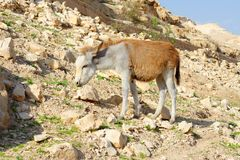Yellow and white donkey on rocky hillside in the desert Stock Photo