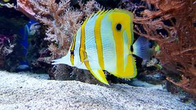 Yellow white fish swimming with corals royalty free stock photos