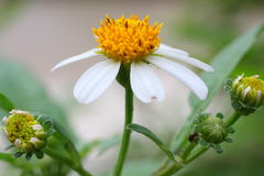 Yellow and White Flower Royalty Free Stock Image