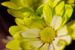 YELLOW AND WHITE CLOSEUP OF DAISY FLOWER stock image