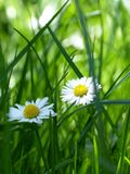Yellow and White Flower Surrounded by Green Grass Stock Photography