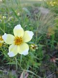 Yellow and white flower. That grows on the banks of the river royalty free stock photo