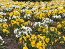 Yellow and white flowerbed Stock Image