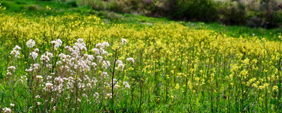 Yellow and white flowers. Meadow of yellow and white flowers royalty free stock images