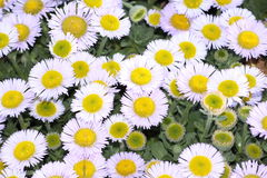 Yellow and white flowers. Closeup of a patch of wildflowers with yellow centers and thin white petals Stock Images