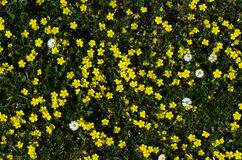 Yellow and white flowers all over the ground. Ground covered with yellow common rock-roses and some white daisies Royalty Free Stock Images