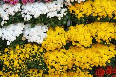 Yellow and white flowers blooming background,Chrysanthemums flower at Chiang Mai Flower Festival,Held in February of each year. Close up Yellow and white flowers royalty free stock photos