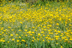 Yellow and white flowers in spring blooming meadow Stock Images