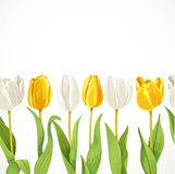 Yellow and white flowers tulips seamless background Royalty Free Stock Images