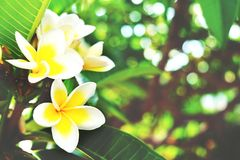 Exotic flowers from tropical contries. You deserve a vocation concept. Beautiful rare plants. Mother`s day, international women`. Yellow white frangipani blossom Royalty Free Stock Photography