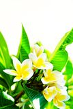 Exotic flowers from tropical contries. You deserve a vocation concept. Beautiful rare plants. Mother`s day, international women`. Yellow white frangipani blossom Royalty Free Stock Images