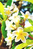 Exotic flowers from tropical contries. You deserve a vocation concept. Beautiful rare plants. Mother`s day, international women`. Yellow white frangipani blossom Royalty Free Stock Image