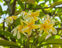 Yellow white frangipani on a tree Stock Images