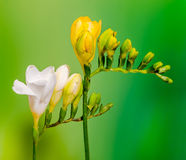 Yellow and white freesias flowers, close up, green to yellow gradient background.  Royalty Free Stock Photo