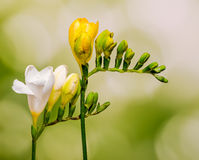 Yellow and white freesias flowers, close up, green to yellow gradient background.  Stock Photo
