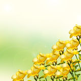 Yellow and white freesias flowers, close up,  green to yellow gradient background Royalty Free Stock Photo